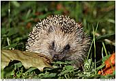 Hedgehog - Hedgehog
