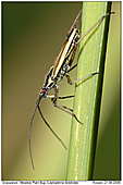 Meadow Plant Bug - Meadow Plant Bug