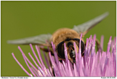 Drone Fly - Hover Fly On Thistle