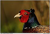 Pheasant - Pheasant