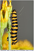 Cinnabar Moth - Larvae - Larvae of Cinnabar Moth