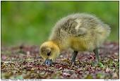 Canadian Goose - Canada Goose