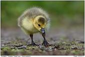 Canada Goose - Canada Goose