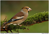 Hawfinch - Female Hawfinch
