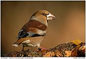 Hawfinch - Hawfinch in evening light