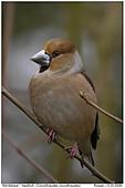 Hawfinch - Hawfinch