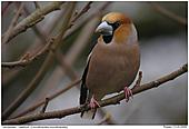 Hawfinch - Male Hawfinch