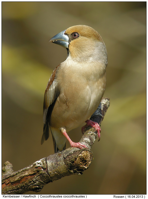 hawfinch photos digital nature photography photo. Black Bedroom Furniture Sets. Home Design Ideas