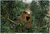 Hawfinch - Hawfinch in a yew tree