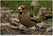 Hawfinch - Hawfinch with seed of yew tree