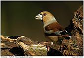 Hawfinch - Hawfinch - The Bill