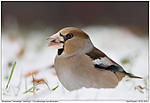 Hawfinch - Hawfinch in the Snow