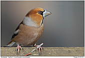 Hawfinch - Hawfinch In Breeding Plumage
