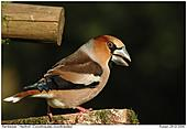 Hawfinch - Spring is coming