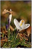 Crocus - Spring Power