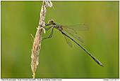 Small Emerald Damselfly - Small Emerald Damselfly