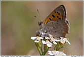 Small Copper - Small Copper
