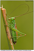 Short-winged Conehead - Short-winged Conehead