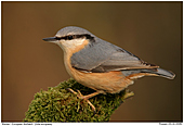 European Nuthatch - European Nuthatch