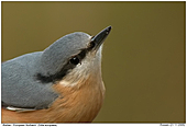 European Nuthatch - Nuthatch - Close Up