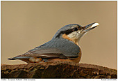European Nuthatch - Nuthatch with Nut