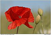 Red Poppy - Red Poppy