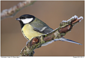 Great Tit - Great Tit In The Winter