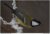 Great Tit - And immediately
