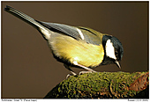 Great Tit - Searching for Insects