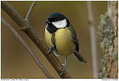 Great Tit - At the feeder