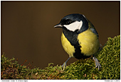 Great Tit - Great Tit - Male