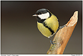 Great Tit - Great Tit