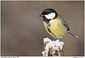 Great Tit - Great Tit In Winter