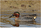 Common Teal - Common Teal