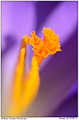 Crocus - Crocus - Close Up