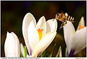 Honey Bee - Bee In Crocus Meadow