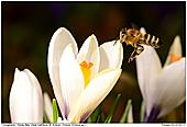 Honey Bee - Bee In Crocus Meadow