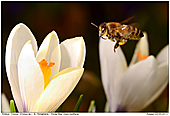 Honey Bee - Honeybee and Crocus