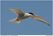 Arctic Tern - Arctic Tern
