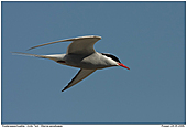 Arctic Tern - Arctic Tern In Flight