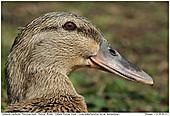 Running Duck - Running Duck