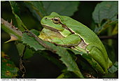 European Tree Frog - European Tree Frog