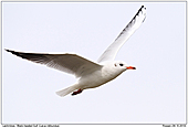 Black-headde Gull - Black-headed Gull In Flight