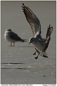 Black-headed Gull - Black-headed Gulls
