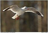 Black-headed Gull - Black-headed Gull In Flight