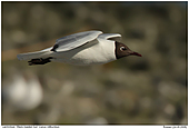 Black-headed Gull - Black-headed Gull