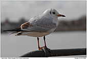 Black-headed Gull - Black-headed Gull in Backlight