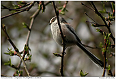 Long-tailed Tit - Long-tailed Tit