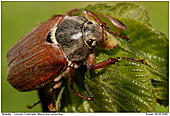 Common Cockchafer - Common Cockchafer