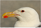 Great Black-Backed Gull - Great Black-Backed Gull